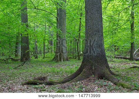 Old spruce and monumental oaks in background in fall deciduous stand, Bialowieza Forest, Poland, Europe