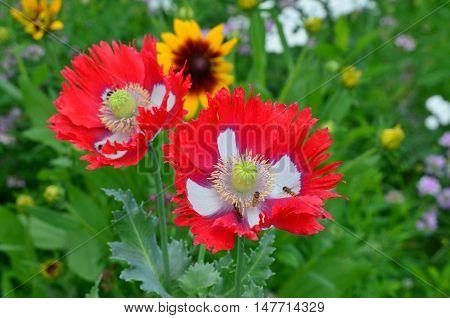 view of poppy flower South Bohemia Czech Republic