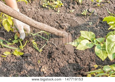woman weeding hoes potatoes on sunny summer day hand closeup