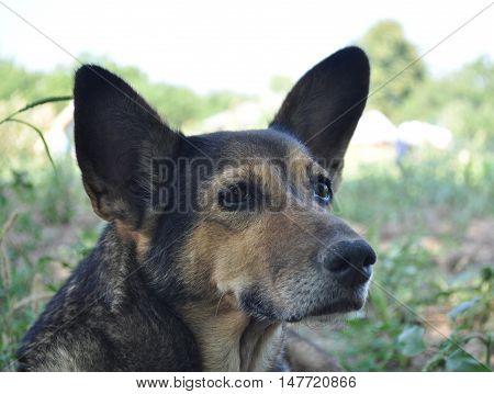 dog, breed, animal, brown, ears, eyes, snout