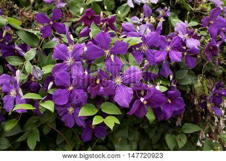 Purple clematis flowers in a garden