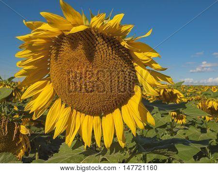 Large matured sunflower against the blue sky . Winnipeg. Canada.