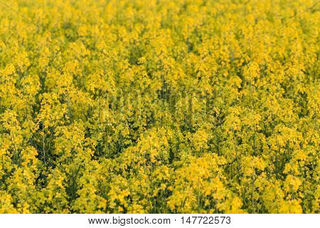 field of yellow rapeseed flowers at sunset