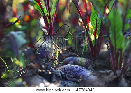Red beets. Garden vegetable patch with beets