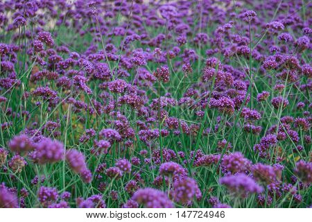 Field of purple flowers, purple flowers on green background
