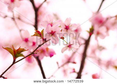 Sakura la primavera florece, DOF superficial