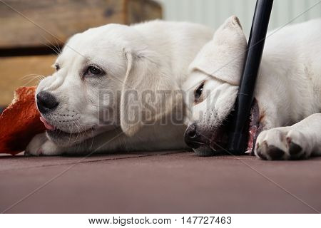 two cute little white labrador retriever dog puppies play, eat and cuddle together