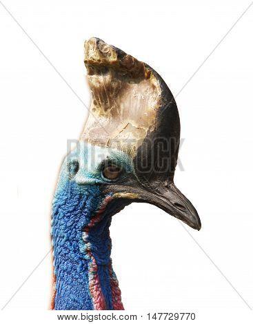 Head of southern australian cassowary - Casuarius casuarius