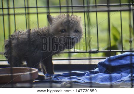 Baby Red Fox caught after a severe thunderstorm in Oklahoma