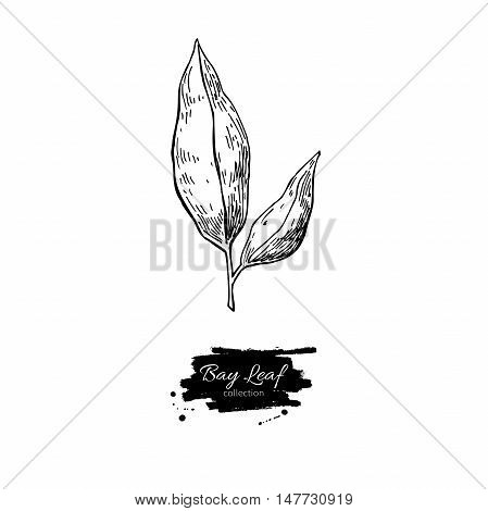 Bay leaf vector hand drawn illustration. Isolated spice object. Engraved style seasoning laurel. Detailed organic product sketch. Cooking flavor ingredient. Great for label, sign, icon