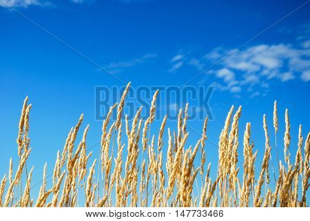 Sunlit growing yellow grass straws by a ble sky