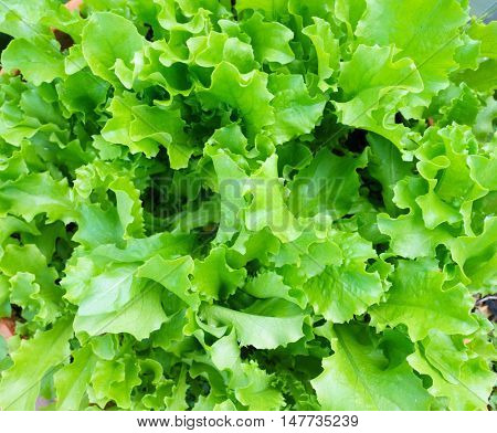 Closeup Of Fresh Salad Plants In The Garden, Homegrown Natural Healthy Organic Food, Green Corrugated lettuce On Entire Background