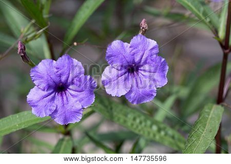Ruella simplex (Britton's wild petunia Mexican petunia Mexican bluebell) is a species of flowering plant in the Acanthaceae family