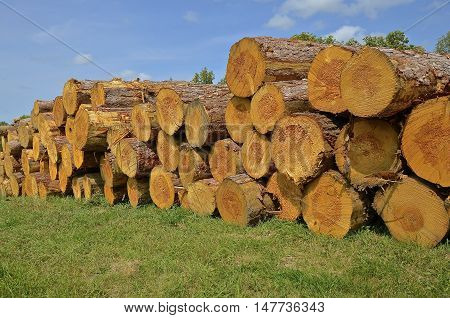 Piles of huge stacked logs at a sawmill are ready to be cut into lumber