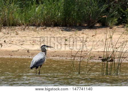 Great blue heron wading in shallow water just off sandy beach of lake. Green vegetation in background.