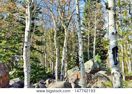 Aspen In Alpine Forest