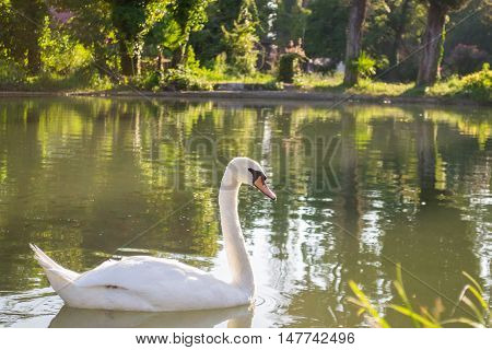 Swan Bird Lake White