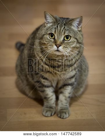 big gray domestic cat on wooden background