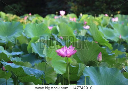 Lotus flowers and buds,many beautiful pink with purple lotus flowers and buds blooming in the pond in summer