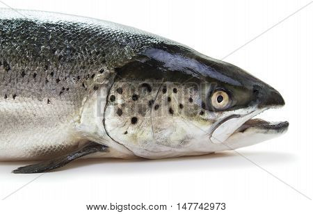 close-up view of head of raw salmon isolated on white background