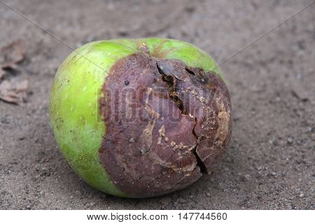 Green rotten apple lying on the ground