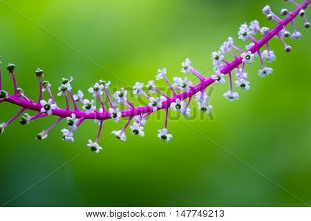 Tropical Pokeweed, Phytolacca Icosandra