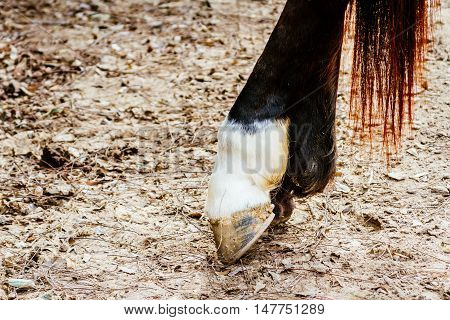 Hoofed horse on dry ground with leaves