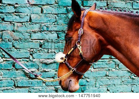 Horse tied his reins against a brick wall