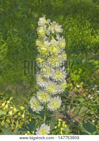 Delphinium Elatum Hybrid