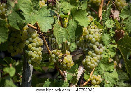 white Wine grapes in the german Region Moselle River Winningen 12