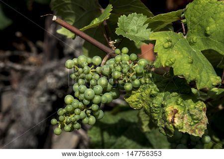 white Wine grapes in the german Region Moselle River Winningen 8