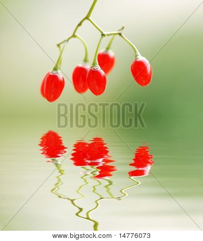 Bittersweet berries with shallow depth of field. Reflection in water.