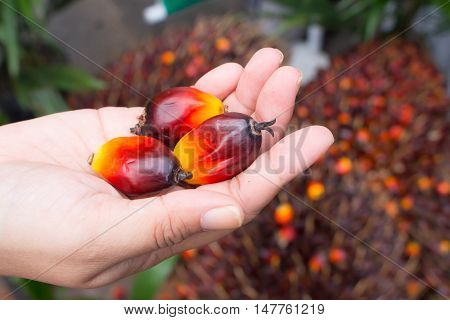 oil palm fruits in hand on Pile of Palm Oil Fruits blur background
