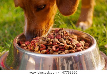 Closeup mixed breed dog eating from metal bowl with fresh crunchy food sitting on green grass, animal nutrition concept.