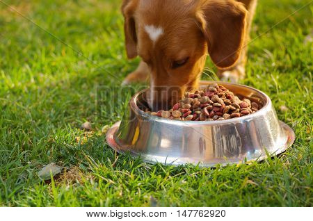 Closeup very cute mixed breed dog eating from metal bowl with fresh crunchy food sitting on green grass, animal nutrition concept.