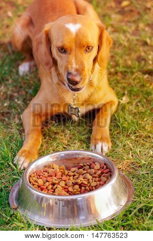 Beautiful mixed breed dog posing, waiting for permission to eat in front of metal bowl with fresh crunchy food sitting on green grass, animal nutrition concept.