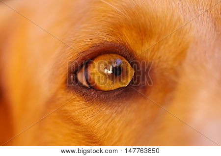 Closeup eye of very cute cocker spaniel dog, beautiful brown colors, seen from profile angle.