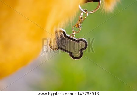 Closeup dog collar with metal tag shaped in the form as bone, hanging from neck.