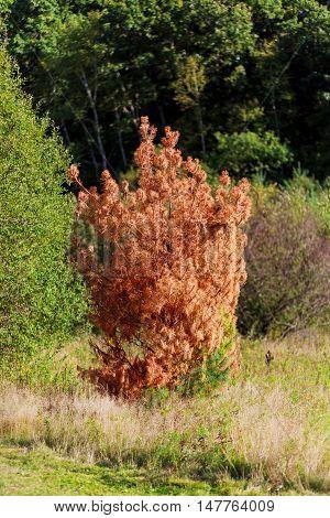 Dead Branch Spruce