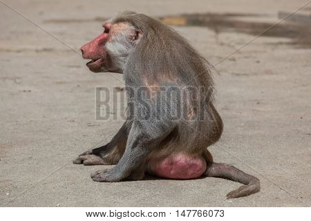 Hamadryas baboon (Papio hamadryas). Old male monkey. Wildlife animal.