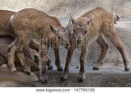 Alpine ibex (Capra ibex ibex), also known as the steinbock or bouquetin. Two newborn calves. Wildlife animal.