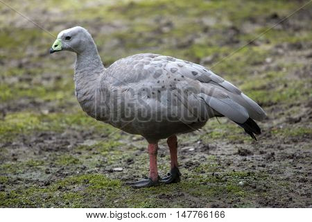Cape barren goose (Cereopsis novaehollandiae). Wildlife animal.