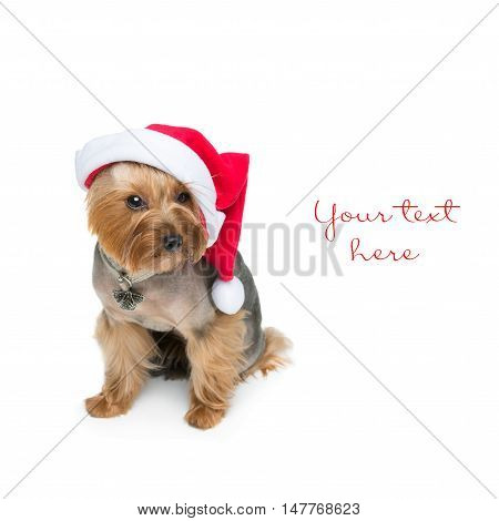 Adorable yorkshire terrier dog in red christmas santa hat. Isolated on white background. Copy space. Sqyare composition.