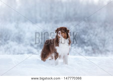 Dog Breed Australian Shepherd, Aussie,