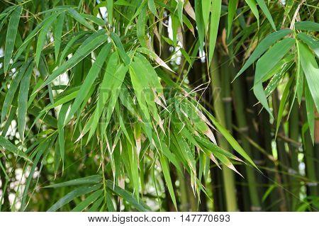 fresh green bamboo leaves in nature garden