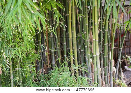 close up fresh green bamboo tree in garden