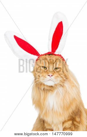 Big adorable ginger maine coon cat in christmas rabbit ears head rim. Isolated on white background. Copy space.