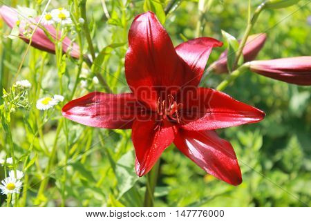 Bright red lily growing in the garden