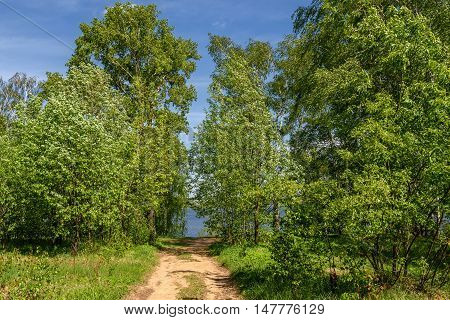 Beautiful landscape with a long thin birch trees with green leaves in a birch grove on the banks of the river and the path to the river