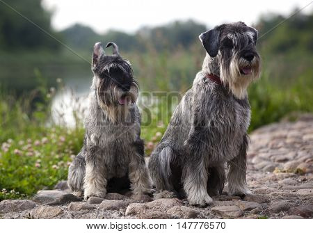 salt and pepper schnauzer dogs